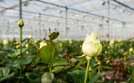 in the greenhouse: Large greenhouse farming company specializing in the cultivation of roses as cut flowers.