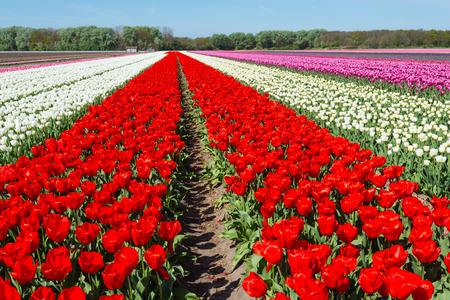 Groot gebied van bloeiende tulpenbollen in verschillende kleuren. Stockfoto