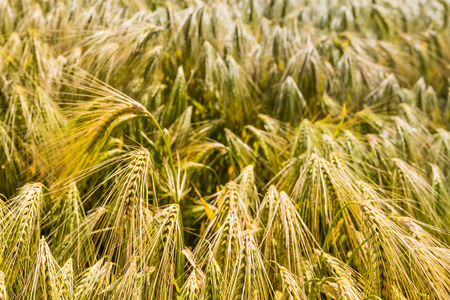l agriculture: Gold colored bent culms of barley ripening in a Dutch field at the beginning of the summer.