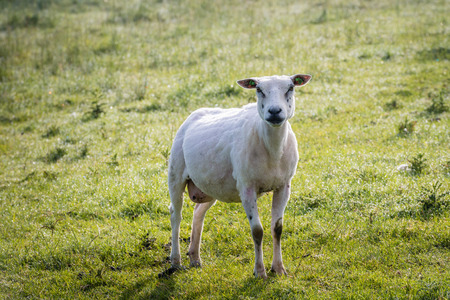 recently: Recently shorn sheep poses in the still dewy grass early in the morning in the summer season.