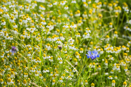 german chamomile: Blue flowering Cornflower or Centaurea cyanus plants between  many yellow and white overblown wild Chamomile or Matricaria chamomilla plants on a sunny day in the summer season. Stock Photo