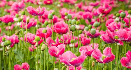 Close-up van roze bloeiende Papaver somniferum planten in de verschillende groeistadia personeel bijzonder van knop tot pod zaad. Stockfoto