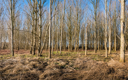 Thin bare trees in a sunny forest on a sunny day in the winter season. On the foreground mainly parched and yellowed blackberry bushes and grasses. photo