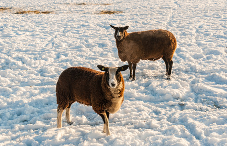 curiously: Two brown sheep curiously looking at the photographer while standing in a snowy meadow on a bright and sunny day in wintertime. Stock Photo