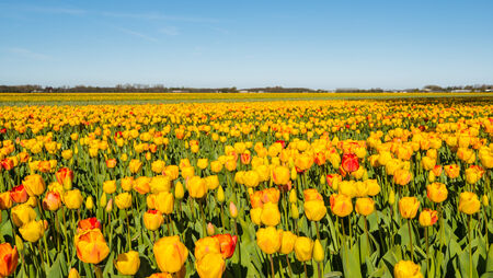 bulb tulip: Blooming yellow and red tulip plants in a large field of a Dutch bulb nursery.