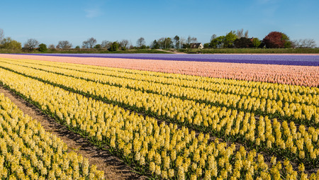 Converging beds of yellow, pink, purple and blue flowering hyacinths in the field of a Dutch nursery on a sunny day in springtime. photo