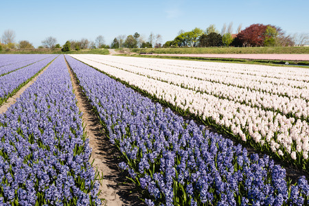 Pink and purple flowering hyacinths in the field of a Dutch nursery on a sunny day in springtime. photo