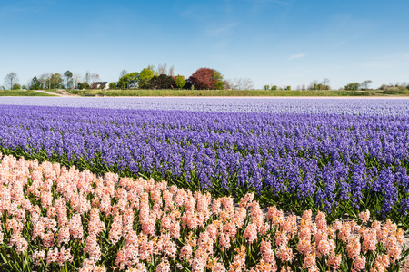 converging: Converging beds of pink, purple and blue flowering hyacinths in the field of a Dutch nursery on a sunny day in springtime.