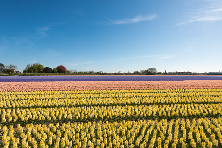 Beds of yellow, pink, purple and blue flowering hyacinths in the field of a Dutch nursery on a sunny day in springtime. photo