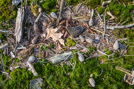 Closeup of fallen leaves, sticks and pine cones between the green moss on the floor of a forest on a sunny day in the winter season. photo
