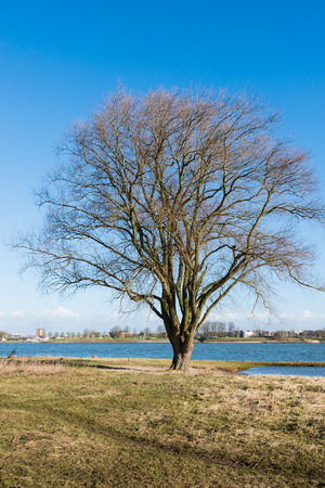 Still leafless tree on the bank of a wide Dutch river is basking in the light of the first spring sunshine. photo