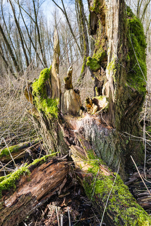 largely: Closeup of a largely decayed trunk covered with green moss on a sunny day at the end of the winter season.