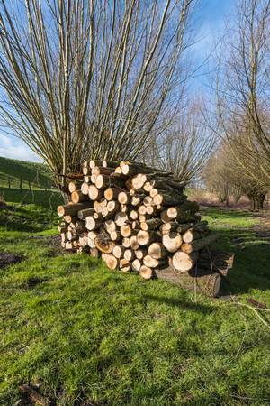 pollard: Dutch nature reserve with stacked tree trunks on a sunny day at the end of the winter season.