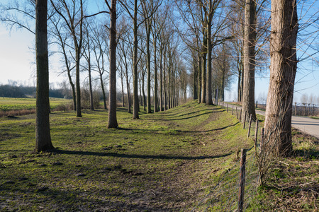 Rows of leafless trees with a rough bark early in the morning at the end of the winter season. Due to the low sunlight the shadows are long. photo