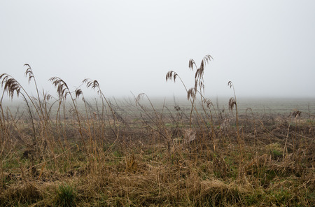 phragmites: A foggy morning in a rural setting with seedheads or reed plants heavily from the water droplets. Stock Photo