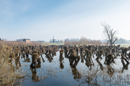 pollard: Pruned pollard willows in a flooded field. It is early in the morning at the end of the winter season and in the distance is still some morning mist. Stock Photo