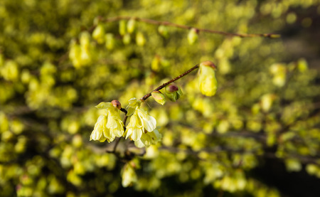 early blossoms: Yellow blossoming twig of a winter hazel shrub against a blurred natural background of many blossoms. It is early in the spring season now.