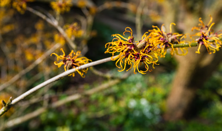 Small orange blossoming branch of a Witch hazel or Hamamelis shrub in the early spring season. Stock Photo