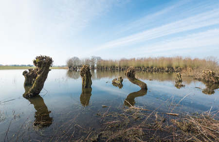 windless: Pruned willows in a flooded area from close on a windless day at the end of the winter season in the Netherlands.