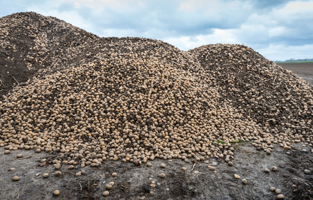 surplus: Big heap of previously unharvested potatoes from the previous crop season is mixed with lumps of clay at the edge of the farmland after preparing of the field in the spring for the next growing.