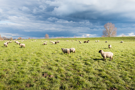 however: Dark clouds over grazing sheep on grassland next to a dike. However, the sheep  themselves are still in the sunlight.