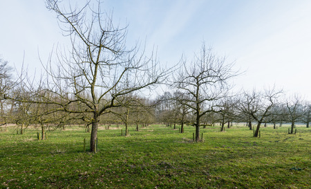 protectors: Orchard with cherry trees of half standard height. Against wild nuisance trunk protectors are placed. It is at the end of the winter season and the trees are stil bare now.