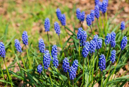 Blooming Grape Hyacinths or Muscari botryoides plants in a wild nature area in the Netherlands. photo