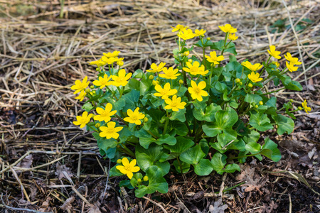 palustris: Closeup of yellow blossoming Kingcup or Caltha palustris in its own swampy habitat.
