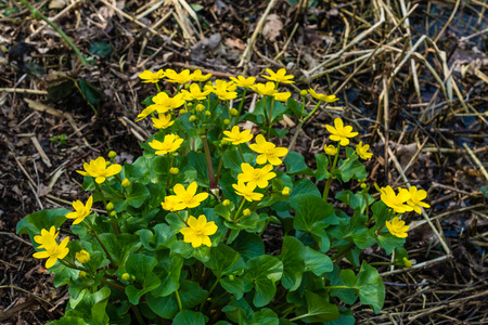 palustris: Closeup of yellow blooming Kingcup or Caltha palustris in its own swampy habitat in the spring season.