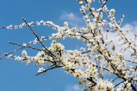 sugarplum: White blossoming branches of shadwood or Amelanchier against a blue sky. Its springtime now.