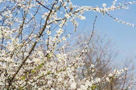 Close-up van witte tot bloei komende takken van shadwood of Amelanchier tegen een blauwe hemel. Het Stockfoto