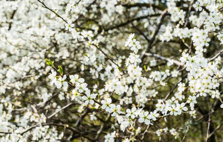 White blossoming branches of shadbush or Amelanchier. It
