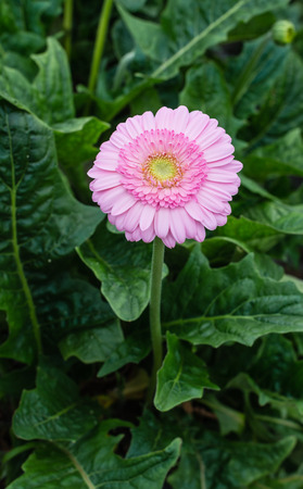 hearted: Yellow hearted gerbera bloom with pink petals from close. The picture is taken in a Dutch nursery specialized in the cultivation of Gerbera cut flowers. Stock Photo