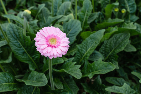 Yellow hearted gerbera bloom with pink petals from close. The picture is taken in a Dutch flower nursery. photo