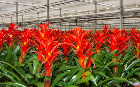 horticulture: Red blooming bromeliad plants in a Dutch greenhouse horticulture company that specializes in houseplants Stock Photo