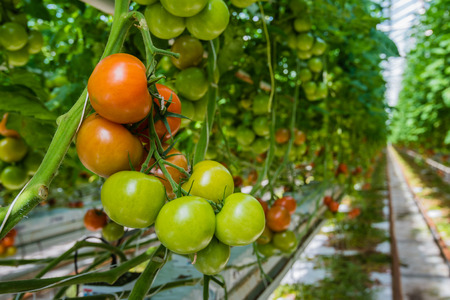 grow food: Tomatoes in different colors and stages of growth growing on substrate at tied plants in a large specialized Dutch greenhouse horticulture company.