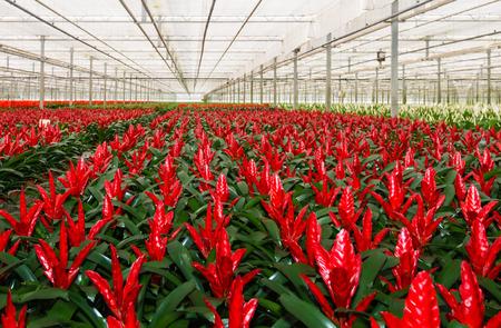 Rood bloeiende bromelia planten in een Nederlandse glastuinbouw bedrijf dat gespecialiseerd is in kamerplanten