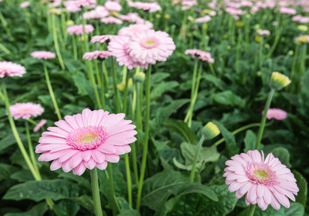 flower nursery: Yellow hearted gerbera blooms with pink petals from close. The picture is taken in a Dutch flower nursery.