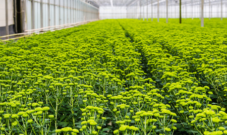 horticulture: Large number of  chrysanthemum plants with lots of buds and light green flowers in a Dutch greenhouse horticulture company specialized in cut flowers. Stock Photo