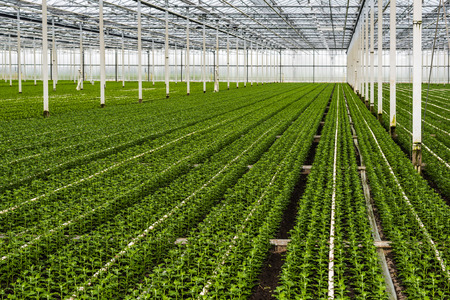 horticulture: Many just planted small chrysanthemum cuttings growing in the glasshouse of a specialized horticulture business in the Netherlands.