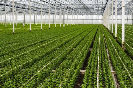 Veel net geplant kleine chrysant stekken groeien in de kas van een gespecialiseerde tuinbouw bedrijf in Nederland. Stockfoto