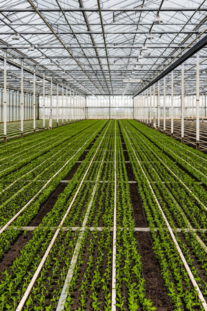 Many just planted small chrysanthemum cuttings growing in the glasshouse of a specialized horticulture business in the Netherlands.