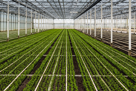 cuttings: Many just planted small chrysanthemum cuttings growing in the glasshouse of a specialized horticulture business in the Netherlands.