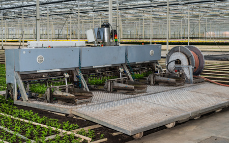 cuttings: Transplanter for chrysanthemum cuttings is ready for the start of work in a specialized chrysanthemum nursery in a greenhouse.
