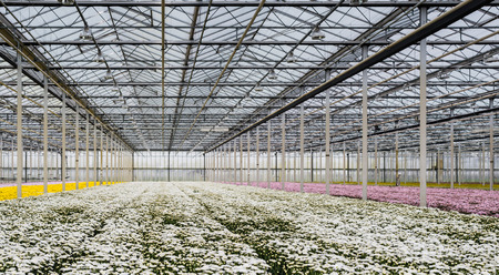 Large glasshouse or a specialized Dutch cut flower nursery with lots of flowering chrysanthemums in the colors white, yellow and pink. photo