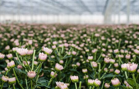 pinched: Pink flowers and buds of a great number of pinched Chrysanthemum plants in the glasshouse of a specialized cut flower nursery in the Netherlands.