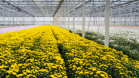 flower nursery: Large greenhouse or a specialized Dutch cut flower nursery with lots of flowering yellow chrysanthemums in the foreground.