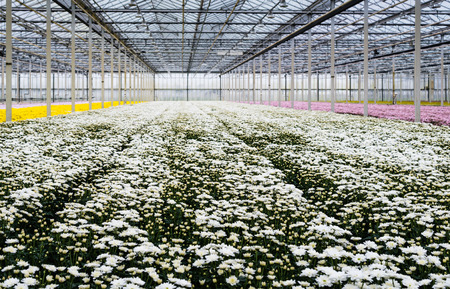 flower nursery: Large greenhouse or a specialized Dutch cut flower nursery with lots of flowering chrysanthemums in the colors white, yellow and pink.