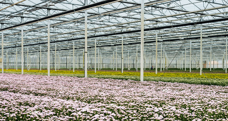 flower nursery: Large greenhouse or a specialized Dutch cut flower nursery with lots of pink colored flowering chrysanthemums in the foreground and white and yellow ones in the bachground. Stock Photo