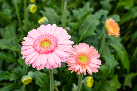 hearted: Yellow hearted gerbera flowers with pink petals from close growing in a Dutch cut flower nursery.